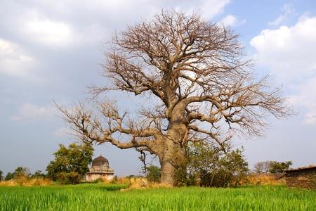 Picturesque nature landscape with Baobab. Mandu, India Stock Photo - 13081518