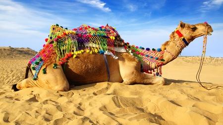 camello: Camello en el fondo del azul del cielo en Bikaner, India Foto de archivo