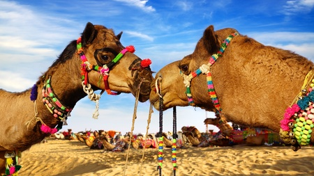 bikaner: Picturesque nature landscape with Camel. Bikaner, India