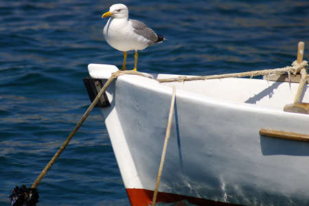 gulls: The seagull sitting on a nose of a fishing boat