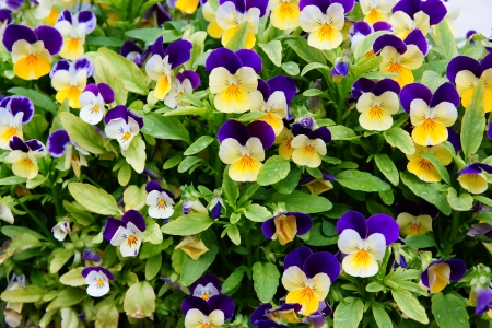 pansies: Multi-coloured bright pansies with a green grass
