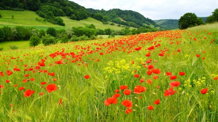 wild botany: Picturesque nature rural landscape with poppies plantation  Stock Photo
