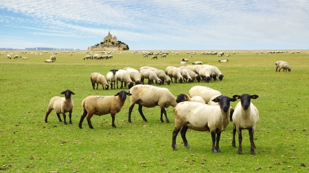 A flock of sheep on the background Mont Saint Michel abbey