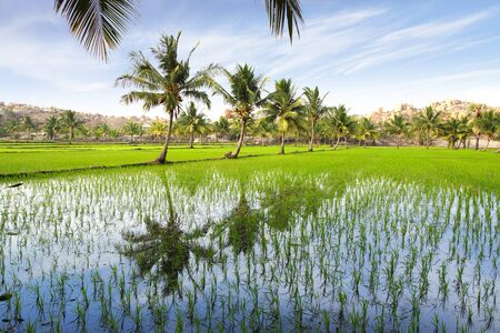 agriculture india: Picturesque landscape with rice plantation. Hampi, India