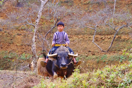 swain: Boy riding a bull. CAN CAU, BAC HA VIETNAM - January 02, 2011