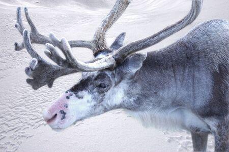 huge antlers: Reindeer