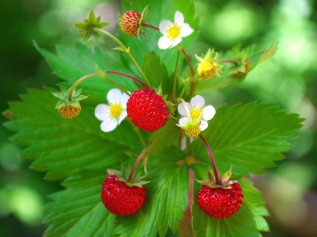 Wild strawberry in forest   Macro shot , focus on a foreground
