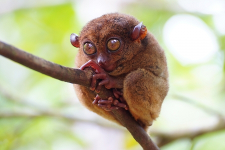 Tarsier closeup in Bohol Island, Philippines photo