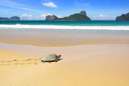 large turtle: Sea turtle on a beach to lay her eggs. Stock Photo