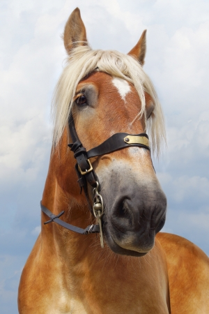 Portrait of red horse with white mane on the sky background. photo