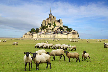 A flock of sheep on the background Mont Saint Michel abbey.