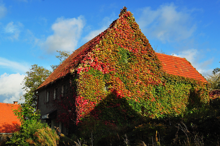 Part of an old street with house overgrown with ivy.