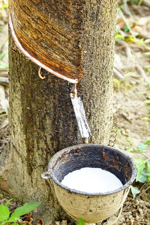 rubber plant: Milk of rubber tree into a bowl