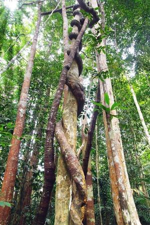 bark rain tree: Lianas clouseup winding through the rainforest