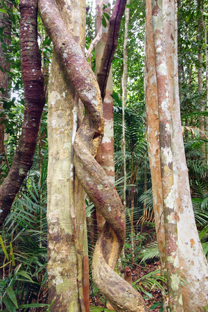 Lianas clouseup winding through the rainforest  photo