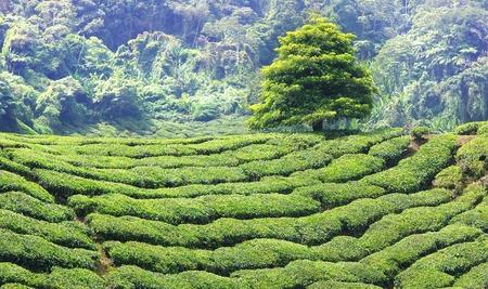 boh: Landscape with tea plantation Cameron highlands, Malaysia