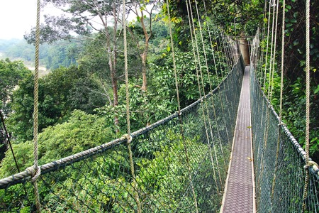 tree canopy: Canopy walk in the rainforest  Taman Negara, Malaysia