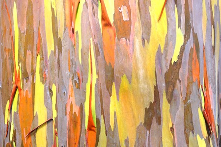 Rainbow eucalyptus. Bark background. Natural background. Close up. Stock Photo