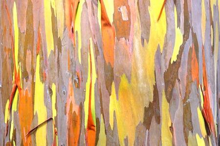 eucalyptus trees: Rainbow eucalyptus. Bark background. Natural background. Close up. Stock Photo