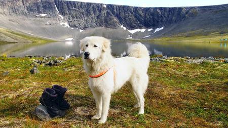 mountain dog: Summer mountain landscape with Anatolian shepherd dog.