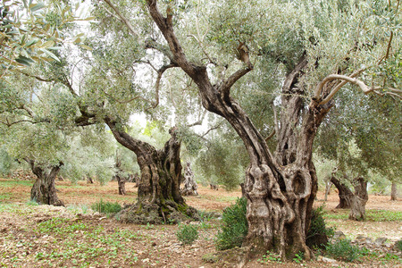 trunks: Picturesque landscape with old olive trees in Mallorca. Stock Photo