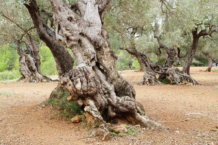 tronco: Pintoresco paisaje con árboles centenarios olivos en Mallorca. Foto de archivo