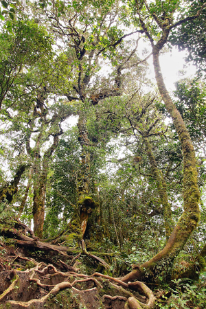 fern  large fern: Lianas close up winding through the rainforest.