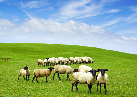 merino sheep: Picturesque nature rural landscape with field. Stock Photo