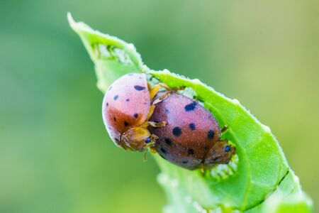 coitus: Insects mating On a bed of green leaves Stock Photo