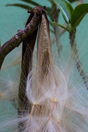 obesum: Adenium obesum Balf., Pink Bignonia seeds