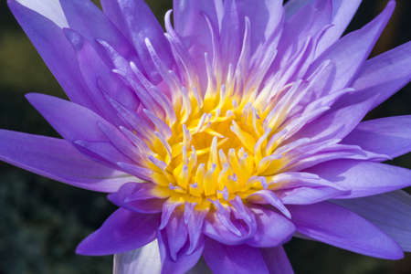 opened: Purple lotus flower opened on a pond with yellow center