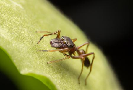 Jumping Spider, Found in Nonthaburi, Thailand