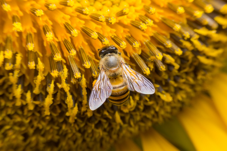 Bee collects nectar from flowers, Close-Up Macro shot