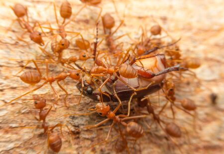 Macro of tropical red fire ants catching a prey, Thailand Archivio Fotografico