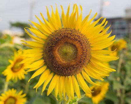Sunflowers in Thailand