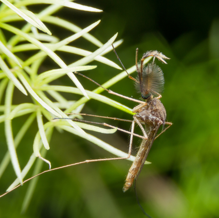 Mosquito on a Green Leaf, Mosquitoes is carrier of Malaria/ Encephalitis/ Dengue