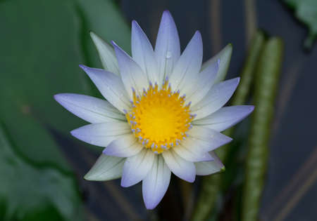 lilia: Beautiful lotus in the pond