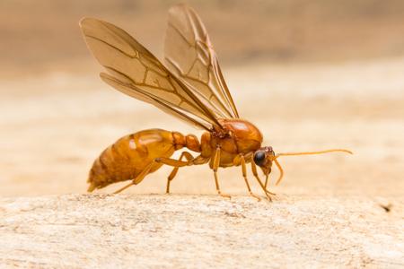 pismire: Queen ant Stock Photo
