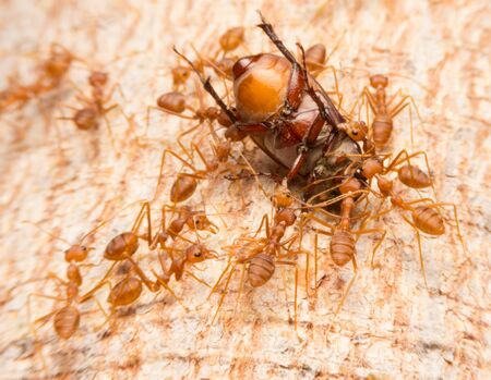 food fight: Macro of tropical red fire ants catching a prey Thailand