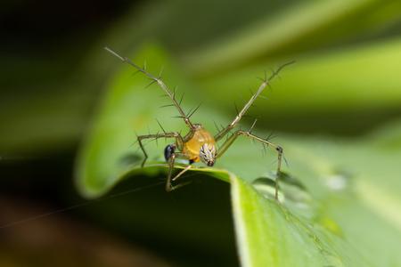 lince: Lynx Spider  Foto de archivo