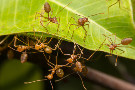 antrey: Red ants nest to nest together. Teamwork concept. Stock Photo