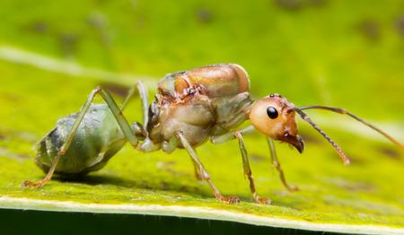 pismire: Ant