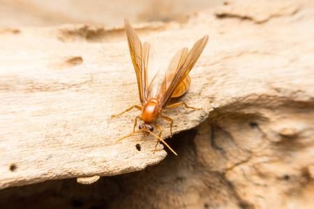 pismire: Queen Ant