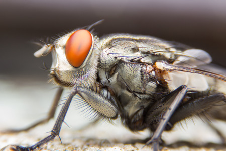 infective: The House Fly dangerous carrier of pathogens. Stock Photo