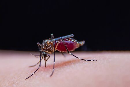 Striped mosquitoes are eating blood on human skin, Dangerous Malaria Infected Mosquito Skin Bite Archivio Fotografico