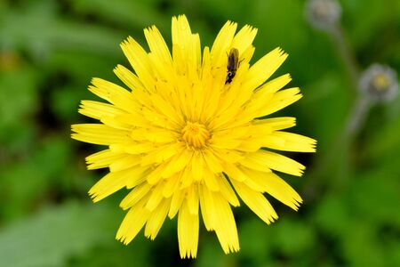 A yellow dandelion with a bug