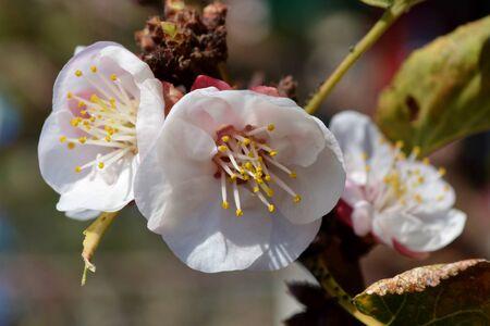 Apricot tree flowers Stock Photo