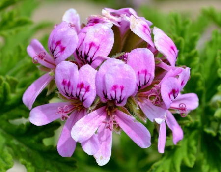 Close up of rose geranium Stock Photo