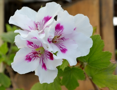 White pelargonium aztec flowers Stock Photo