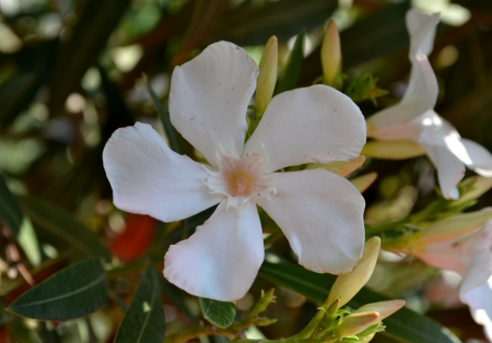 White rhododendron flowers with buds